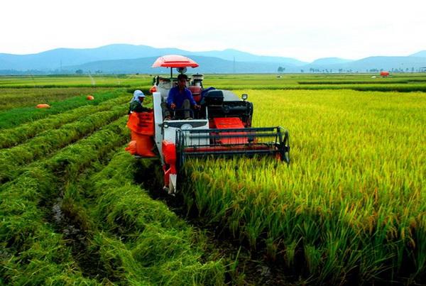 Máy gặt đập liên hợp đang hoạt động trên ruộng lúa Việt Nam