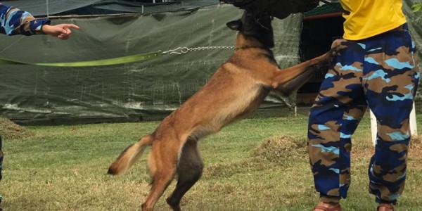Huấn luyện chó nghiệp vụ tấn công bảo vệ chủ