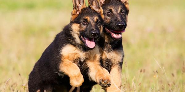Kỹ thuật huấn luyện chó becgie