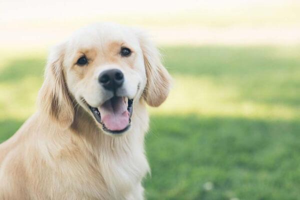 Chó Golden được Sài Gòn DTC huấn luyện thành công