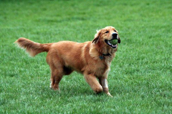 Tại sao nên huấn luyên chó Golden?
