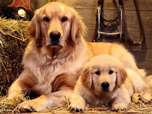 Ăn uống điều độ cũng là cách huấn luyện chó golden retriever tốt nhất