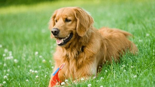Cách huấn luyện chó golden retriever là điều cần thiết để bé ngoan hơn