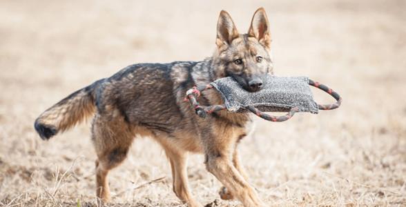 Huấn luyện chó malinois với các bài tập cơ bản